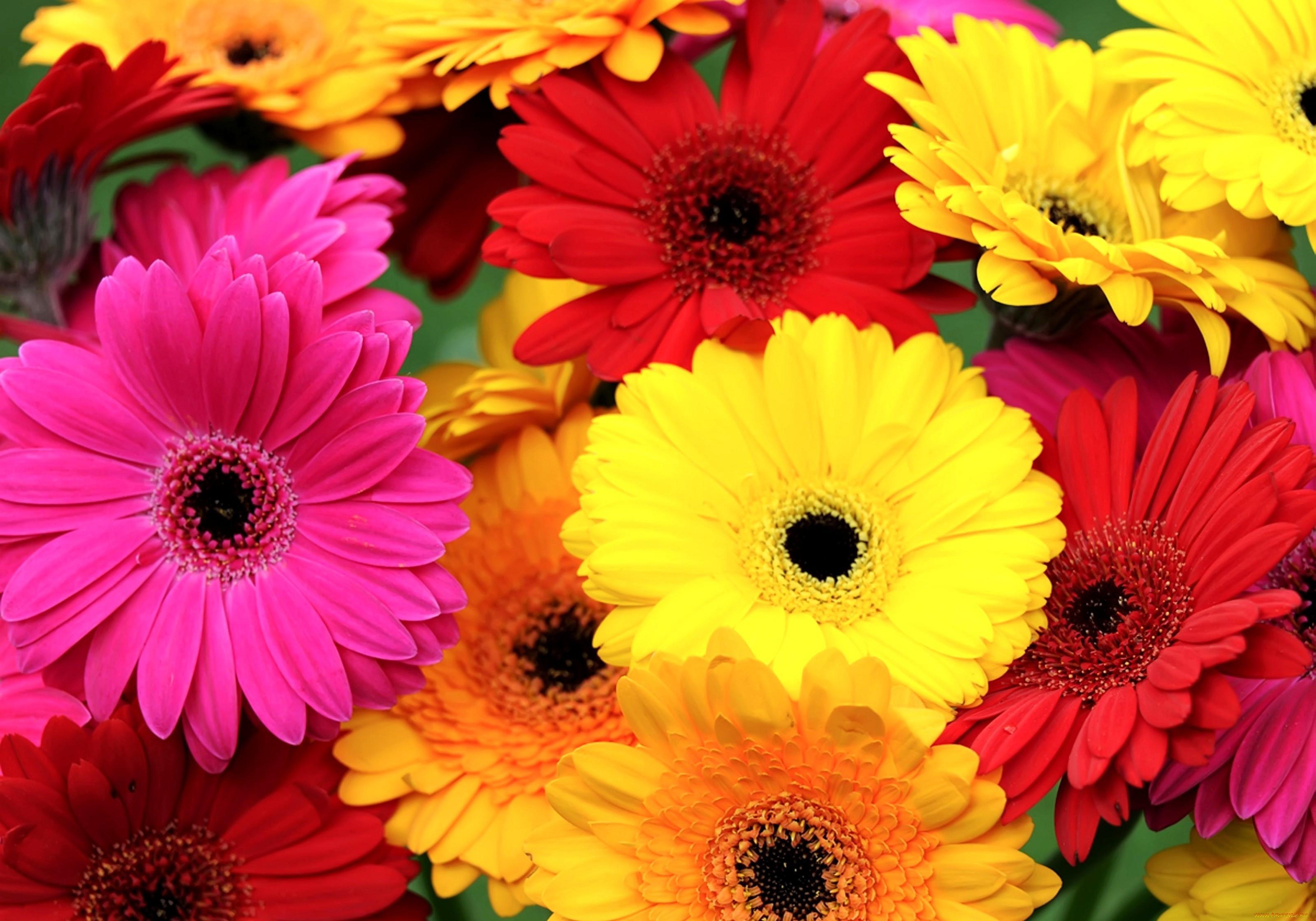 что красивые цветы фото герберы нежность подойдет